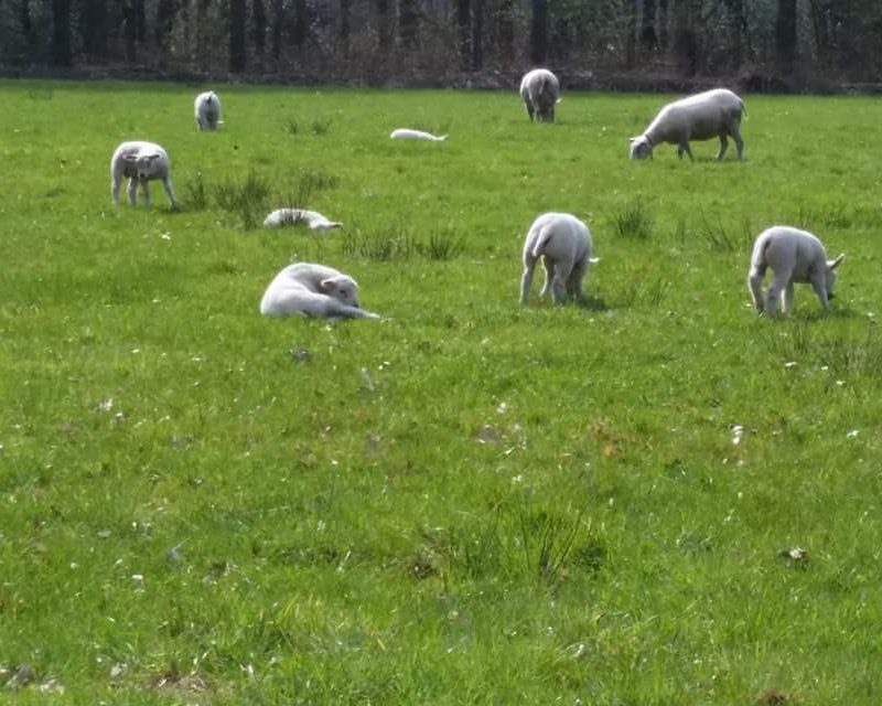 Sheep in the Spring